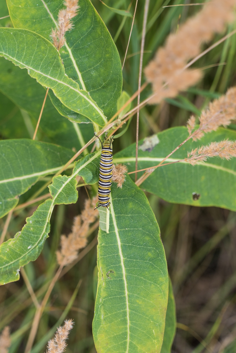 Monarch Butterfly Caterpillar