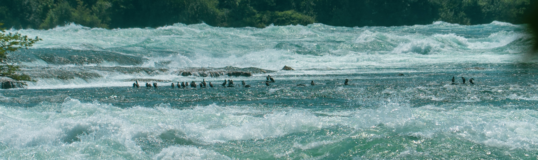 Ducks on the rapids